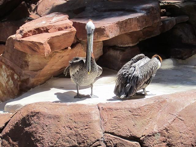 Pelicans!
