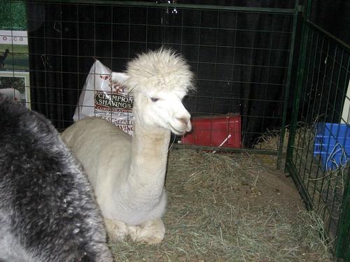 Alpaca Royal Agricultural Winter Fair Toronto