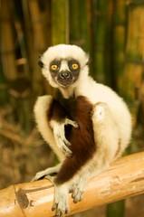 Un lémurien à  Lemurs Park
