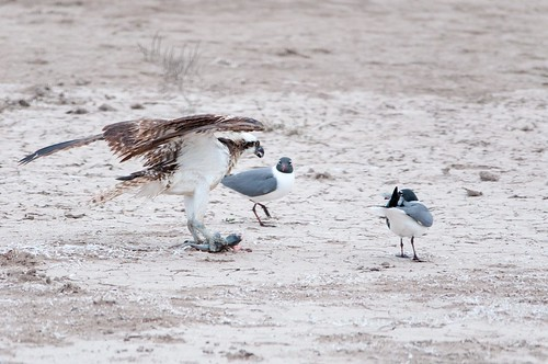 An Osprey being harassed by Laughing Gulls. Photo by Brendan McGarry