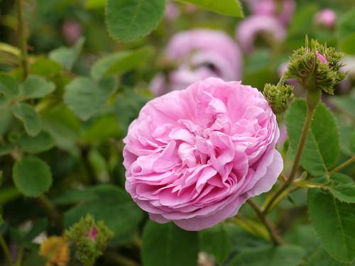 Rose, Chapeau de Napoleon, バラ, シャポー ドゥ ナポレオン,