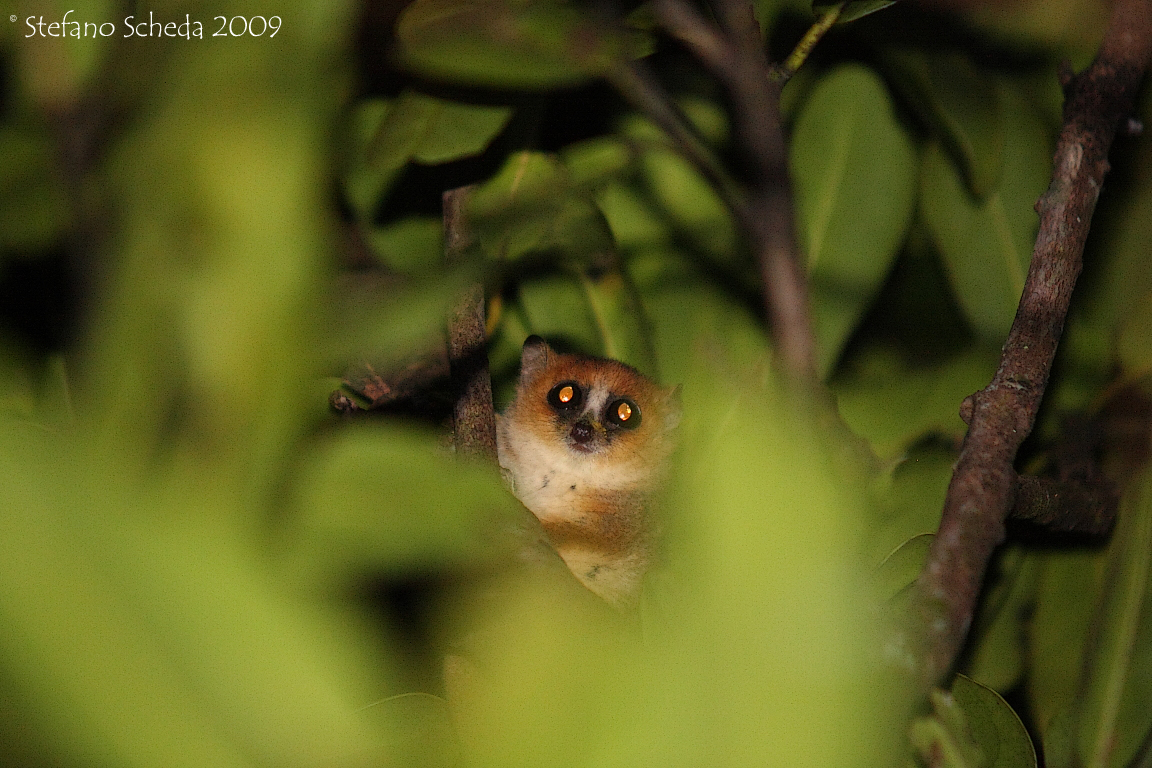 Mouse lemur - Nahampoana Reserve, Madagascar