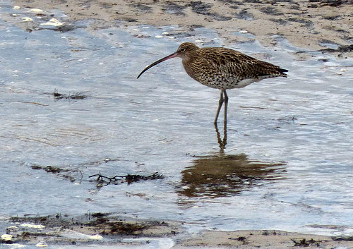 Anstruther Curlew by geoffspages