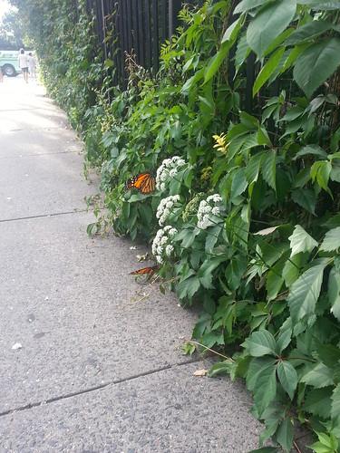 Monarchs on Houston
