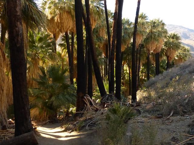 California Fan Palms - some burnt by July 2013 fire P1080066