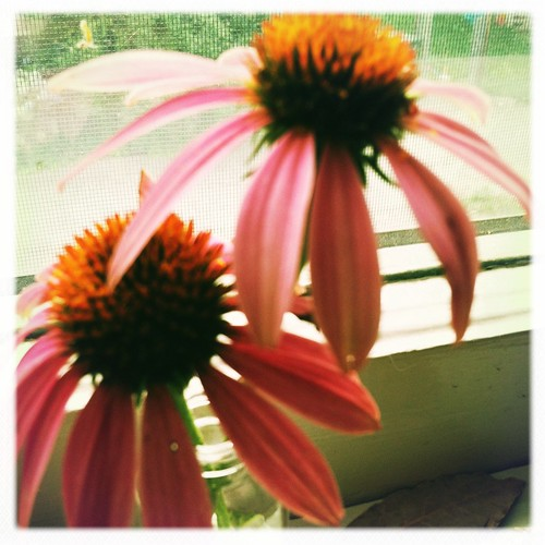 echinacea flowers on the sill