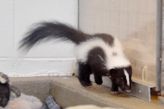 Li'l Skunk