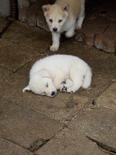Sleeping Puppy(Vu)