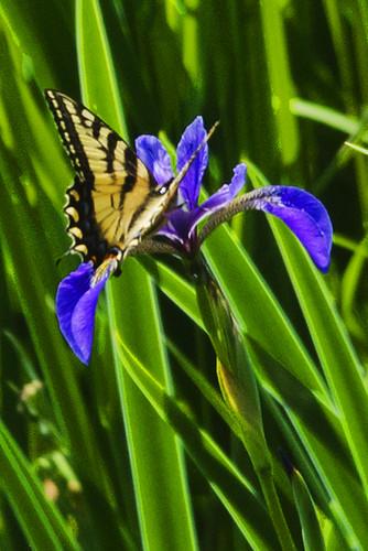 Daks: Canadian Tiger Swallowtail