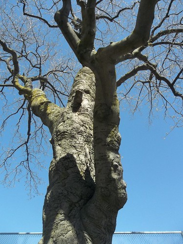 The oldest tree in Trinity Bellwoods Park