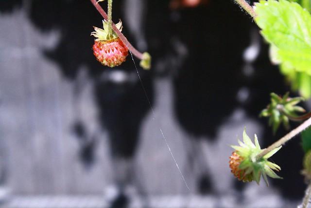 wild strawberry on lead grey