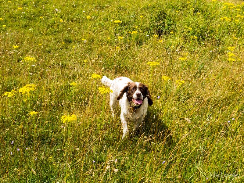 Max romps through the grass at Badbury Rings