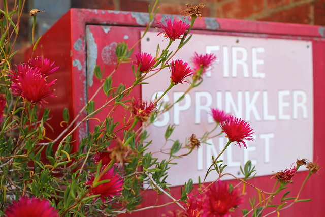 Friday: magenta flowers against scarlet metal and rust brick