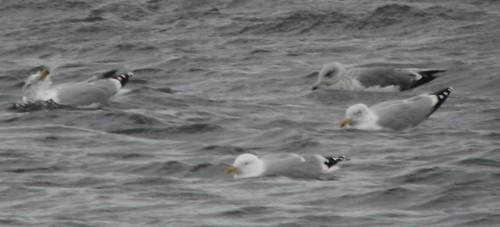 Herring Gull Larus argentatus Tophill Low NR, East Yorkshire February 2014