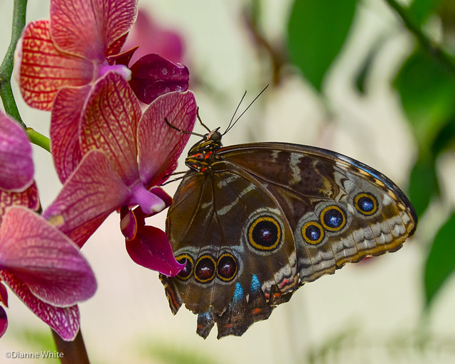 Blue Morpho Butterfly on Orchid