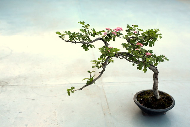 Bonsai may (sanzashi)