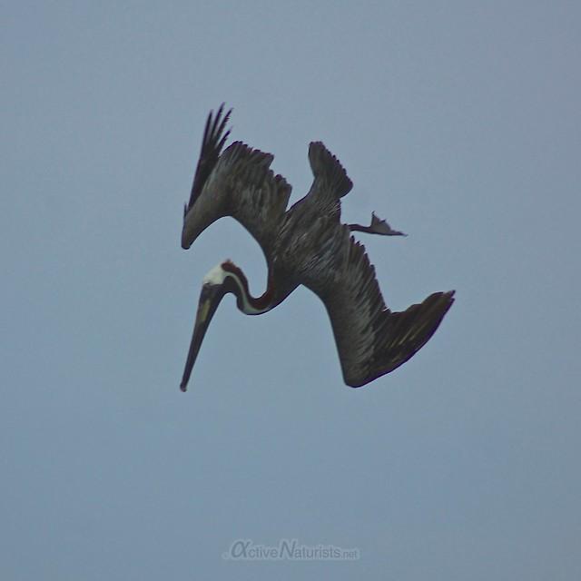 pelican 0001 Sian Kaan beach, Quintana Roo, Mexico