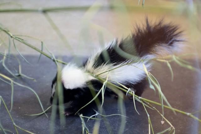 L'il Skunk