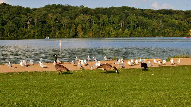 Geese and Seagulls
