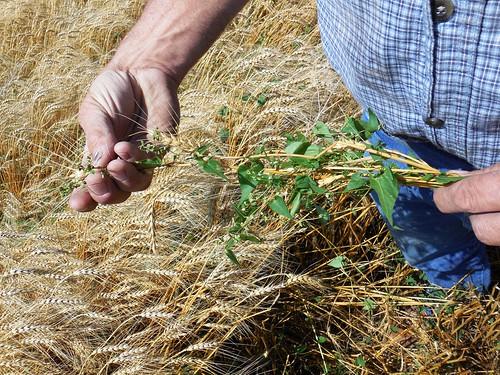 Buckwheat in the field