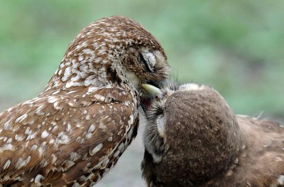 Buhos Besándose