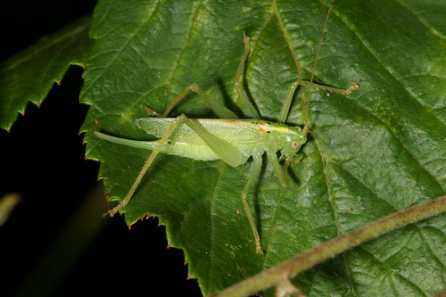 Oak Bush-cricket (Meconema thalassinum), f