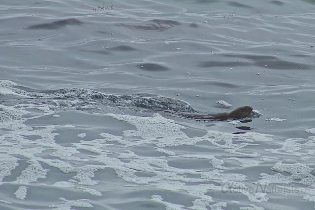 sea otter 0000 4 Mile Beach, CA, USA