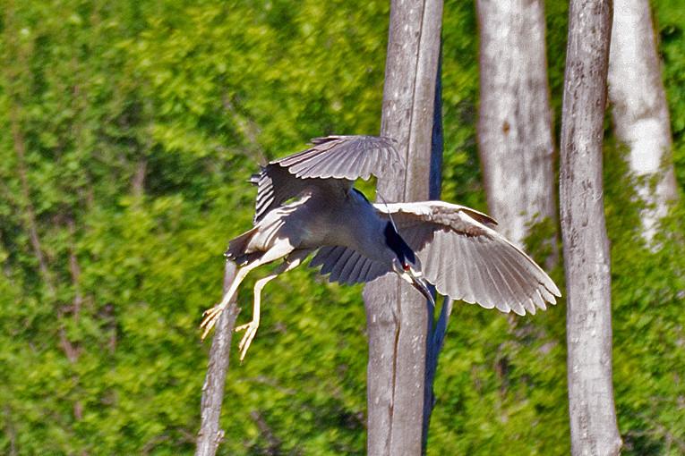 _DSC0787 Black-crowned Nifgt Heron