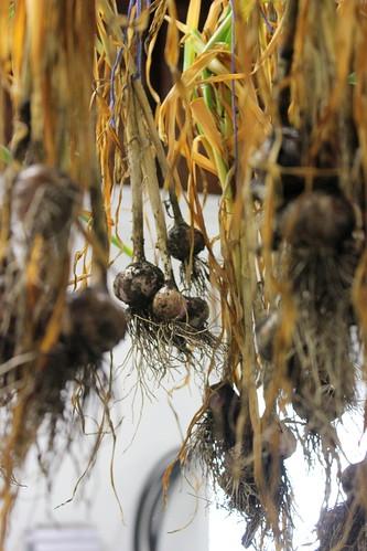 20130629. Garlic drying.
