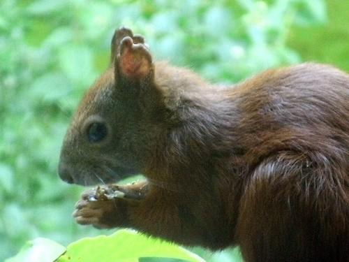 Eichhörnchen mit Haselnuss 1