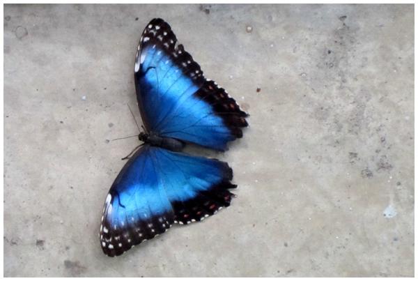 Butterfly Observation: Blue Morpho