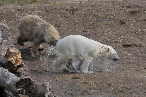 Eisbären Lady Smilla und Siku im Skandinavisk Dyrepark in Kolind