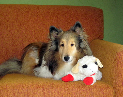 Bailey gets sofa time with sheepie