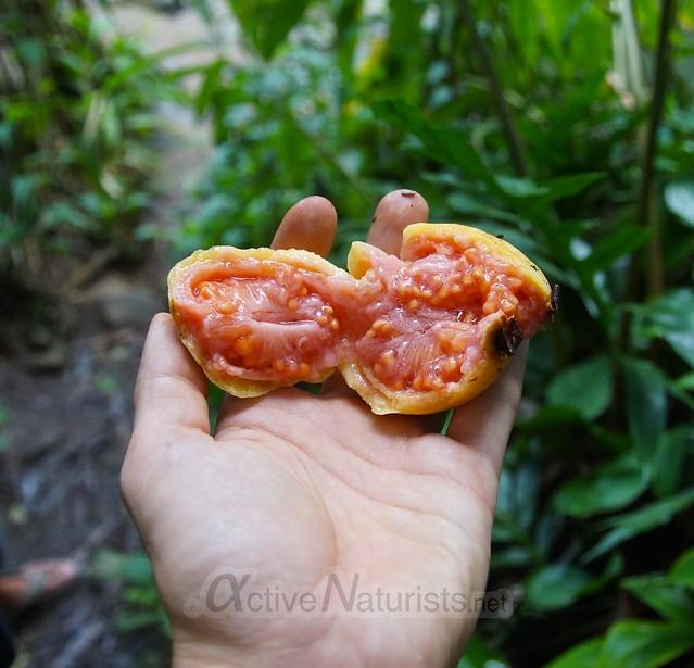 guava 0000 Na'ili'ili-haele, Maui, Hawaii, USA