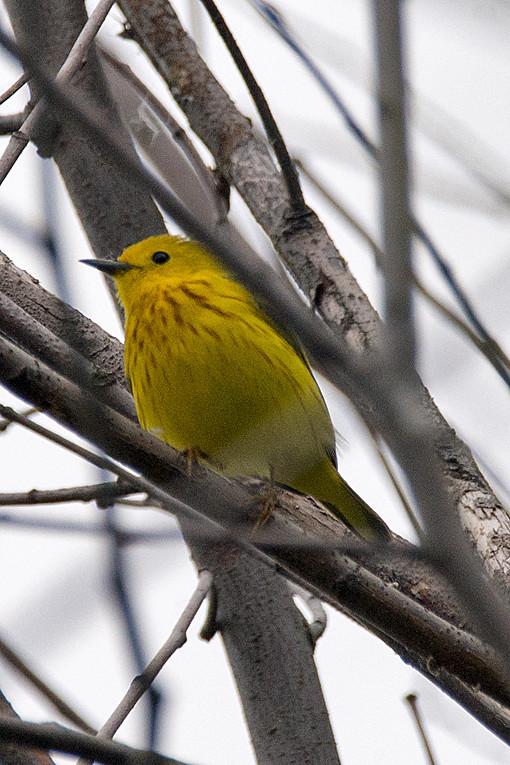 _DSC0339 Yellow Warbler