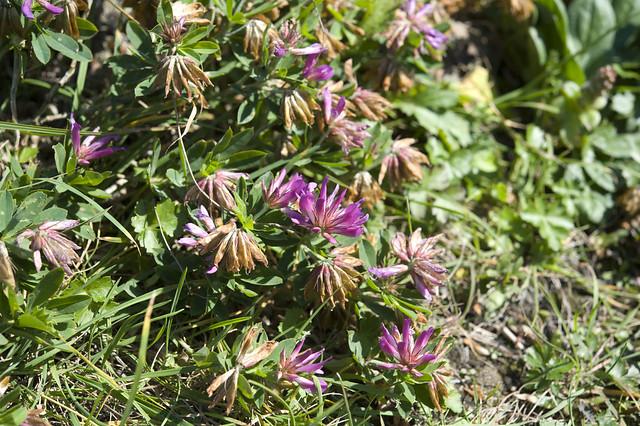 dao-44480 Trifolium lupinaster