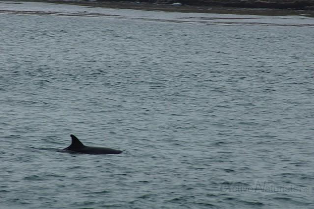 dolphin 0000 4 Mile Beach, CA, USA