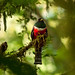 Collared Trogon male 3
