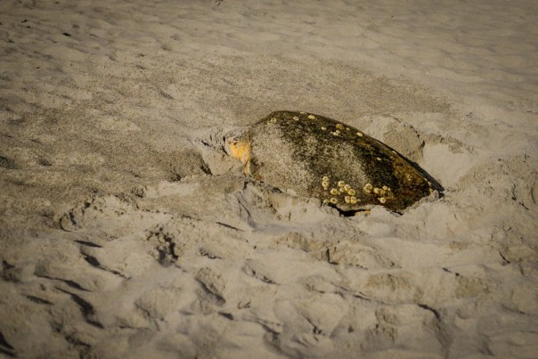 Loggerhead sea turtle laying eggs