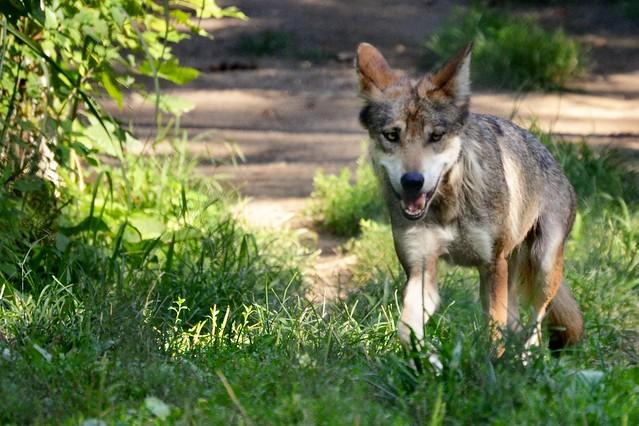 Approaching Wolf