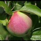 apple bordered