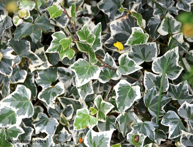 Varigated ivy leaves