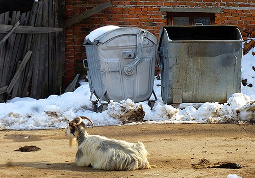 Chillin Goat by dibach
