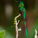 Long-tailed Sylph (Aglaiocercus kingi)  male 1