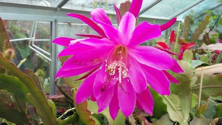 Epiphyllum cv. Daisy Dean