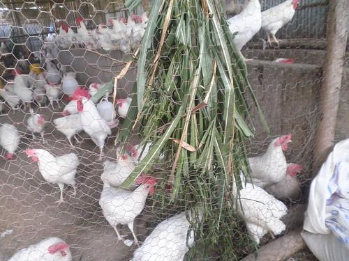 Green feed for poultry (Photo:ILRI\Zeleke Mekuriaw)