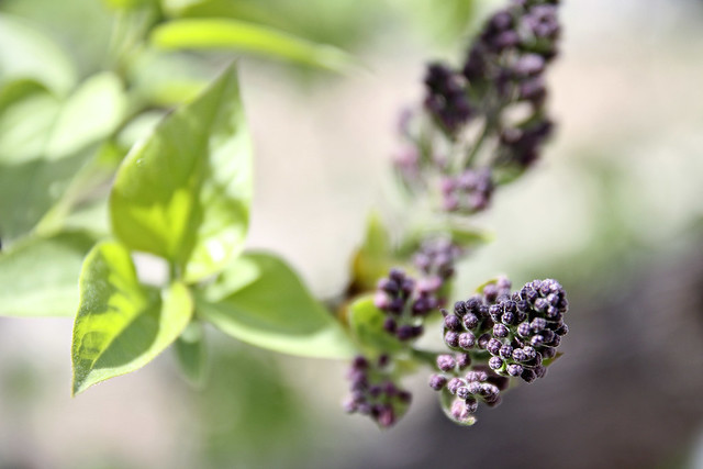 more lilac buds
