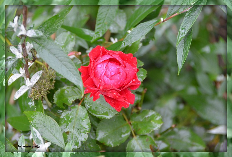The Last rose of Summer 2013