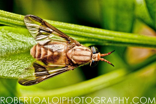 Chrysops - Deer Fly by Roberto_Aloi
