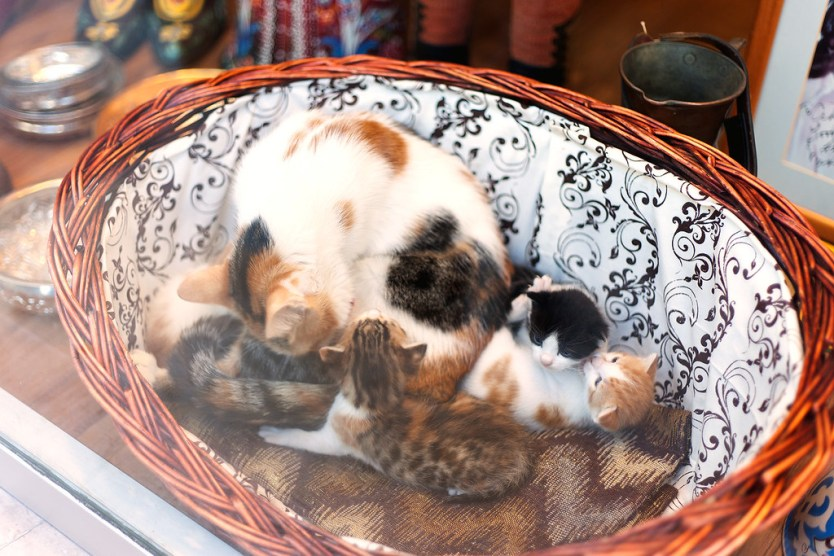 Cat and kittens in a store front window, Sultanahmet district Istanbul.